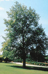 """Tilia Americana"", the American Linden tree is one of the most common species in the Eastern forest."