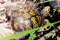 Wildlife, such as this turtle, includes deer, turkey, squirrels, and groundhogs.