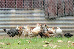 Many Linden residents keep livestock like these chickens.
