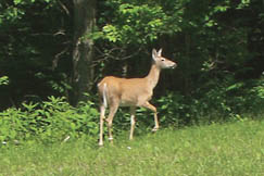Procious has abundant wildlife including deer, turkeys, raccoons, squirrels and more
